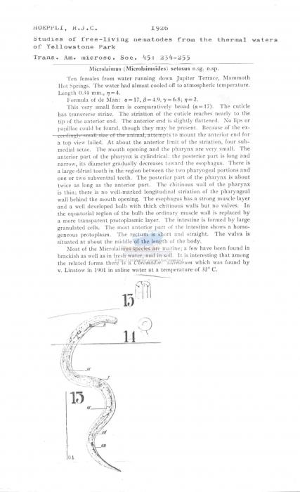 Microlaimus setosus