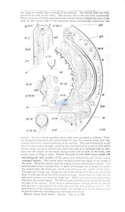 Aponchium cylindricolle