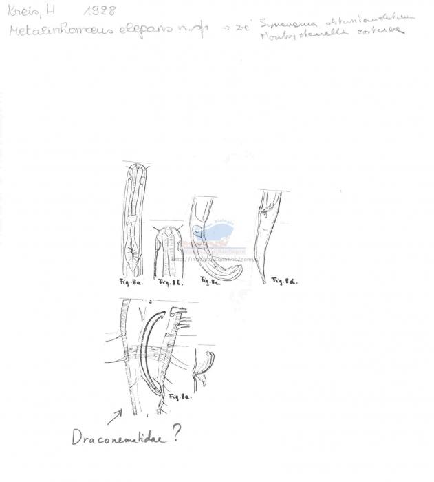 Synonema obtusicaudatum