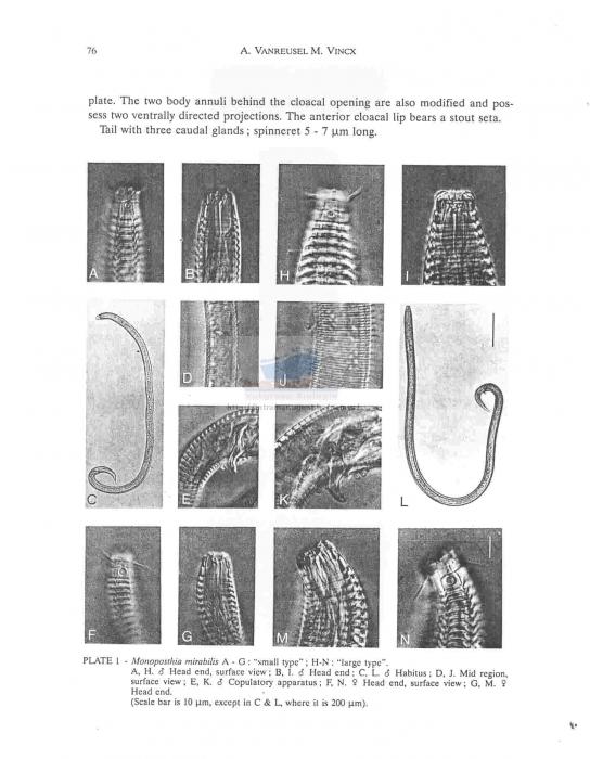 Monoposthia mirabilis