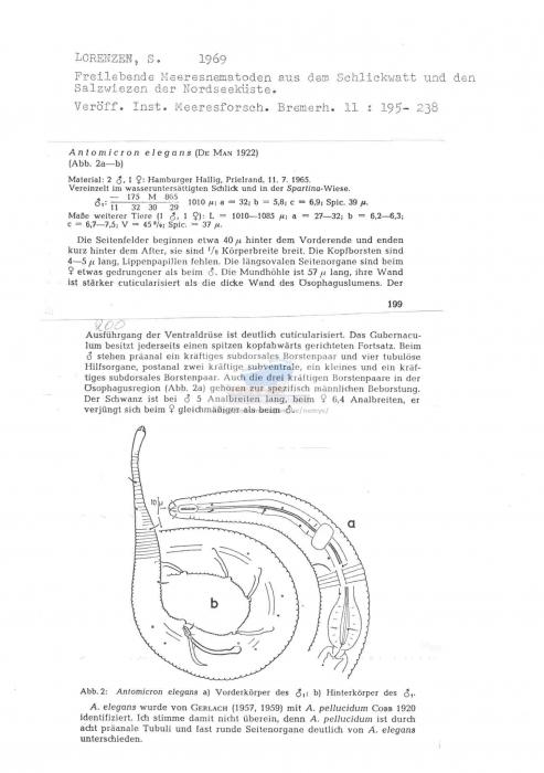 Antomicron elegans