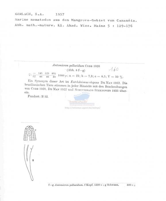Antomicron pellucidum