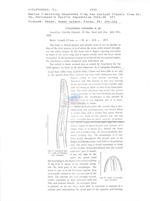 Cricolaimus coronatus