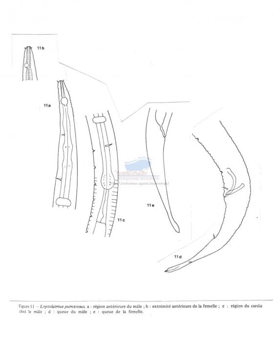 Leptolaimus pumicosus