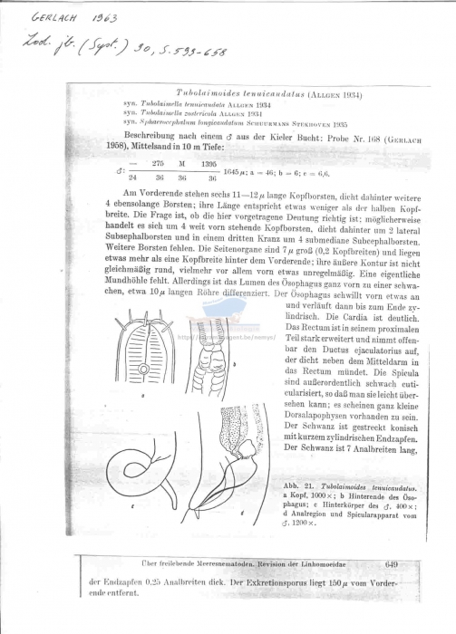 Tubolaimoides tenuicaudatus