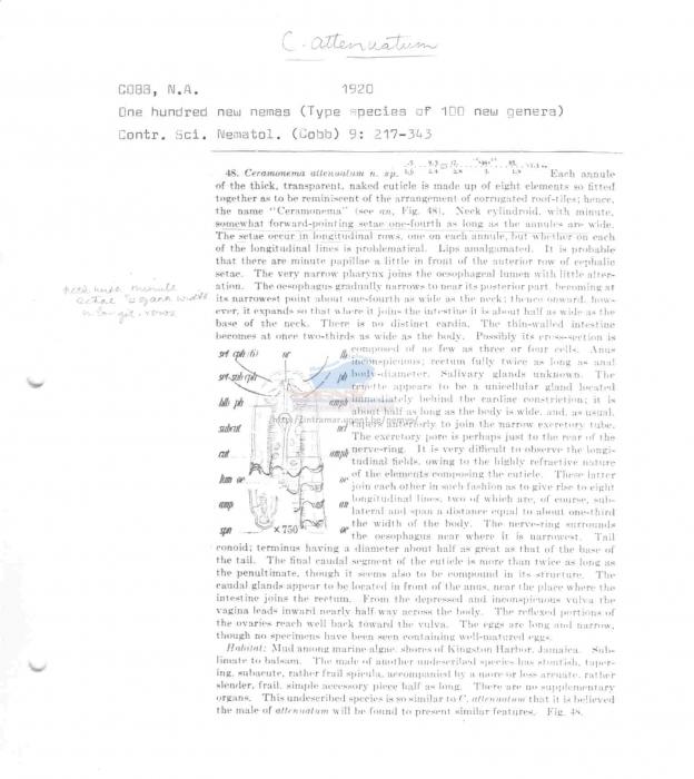 Ceramonema attenuatum
