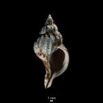 Trophon clathratus