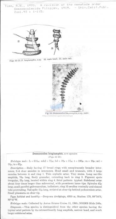 Desmoscolex longiamphis