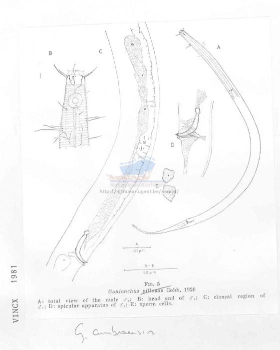 Gonionchus cumbraensis