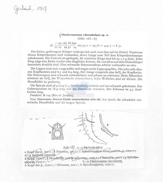Omicronema clavulatum