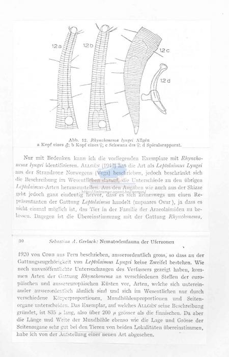 Rhynchonema lyngei