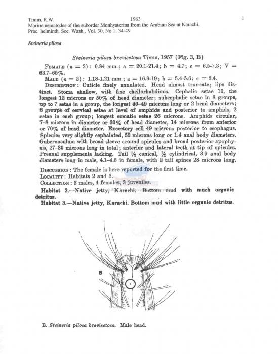 Steineria pilosa