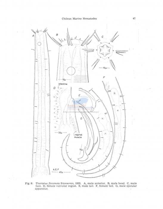 Theristus flevensis