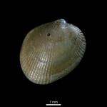 Musculus corrugatus