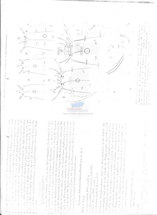 Sphaerolaimus gracilis
