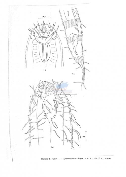 Sphaerolaimus dispar