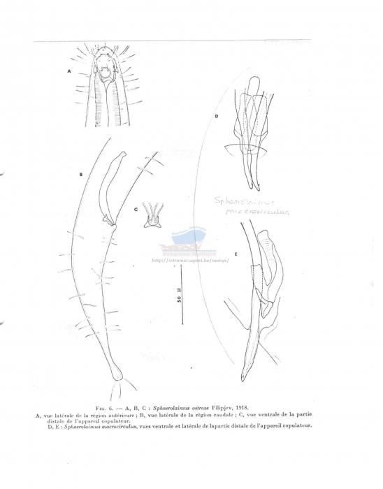 Sphaerolaimus ostreae