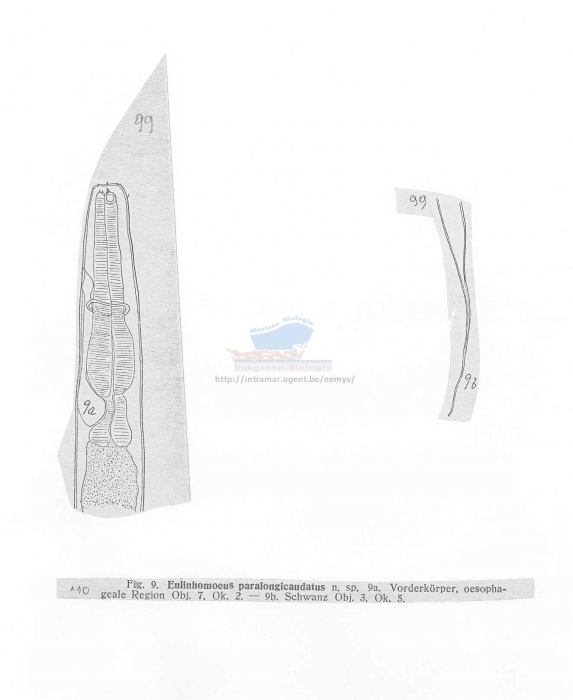 Linhomoeus paralongicaudatus