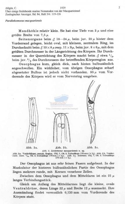 Paralinhomoeus macquariensis