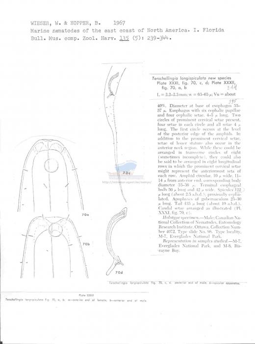 Terschellingia longispiculata