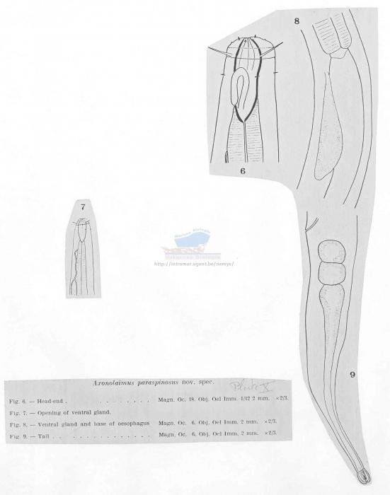 Axonolaimus paraspinosus