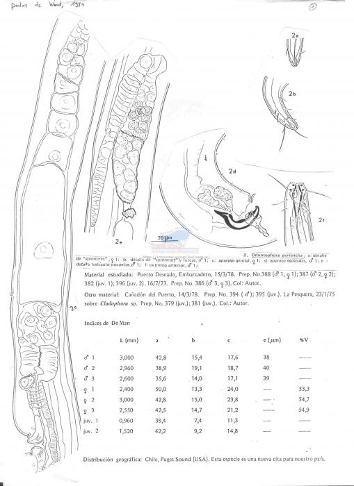 Odontophora peritricha
