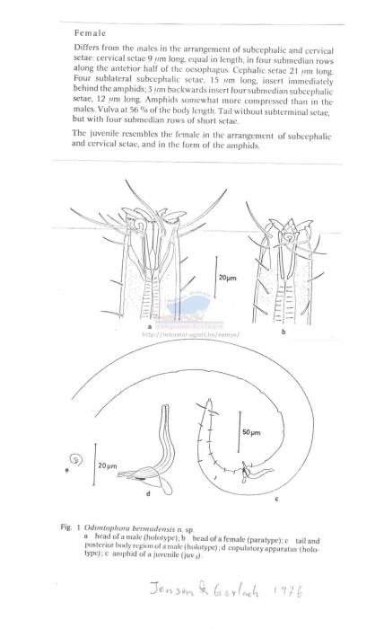 Odontophora bermudensis