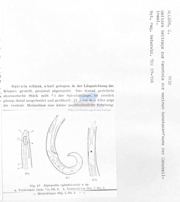 Diplopeltula cylindricauda