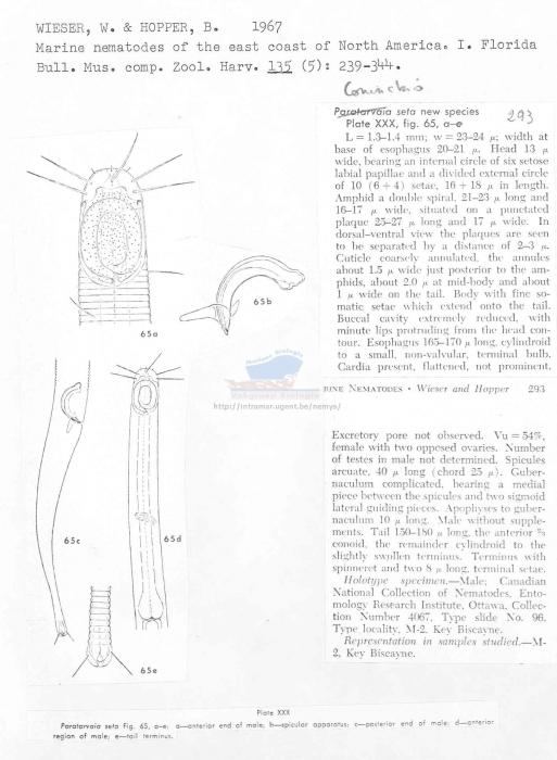 Coninckia seta