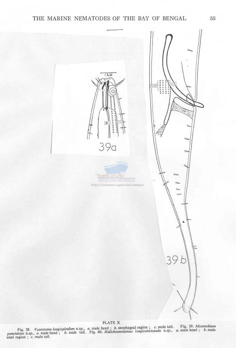 Dorylaimopsis punctata