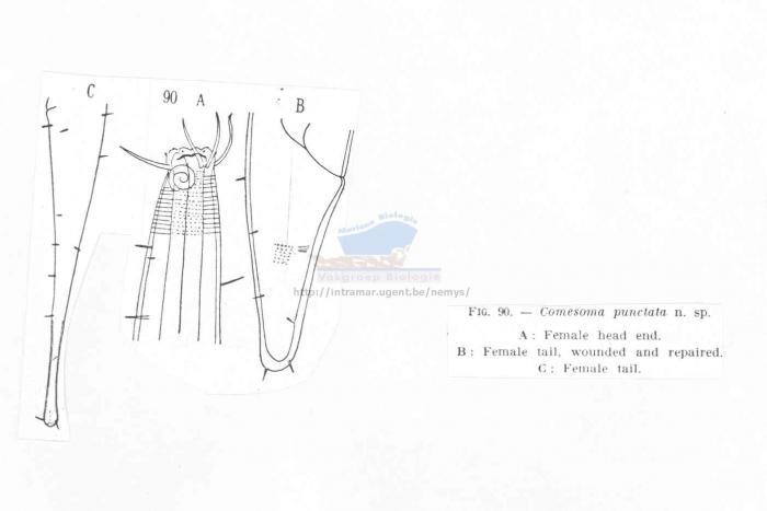 Metacomesoma punctatum