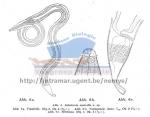 Sabatieria australis