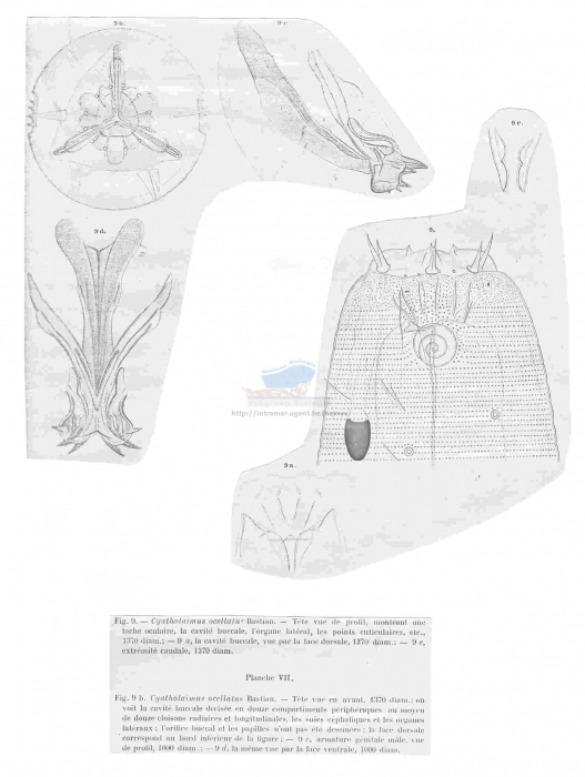 Cyatholaimus gracilis