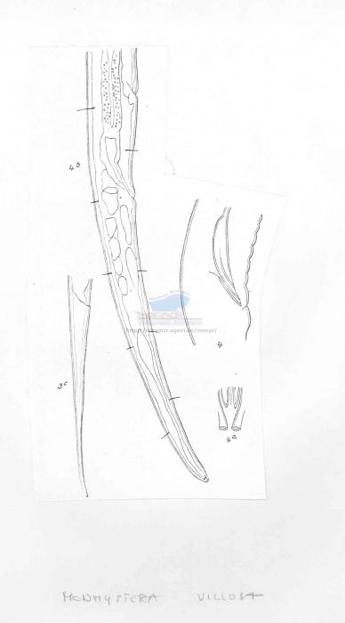 Monhystera villosa