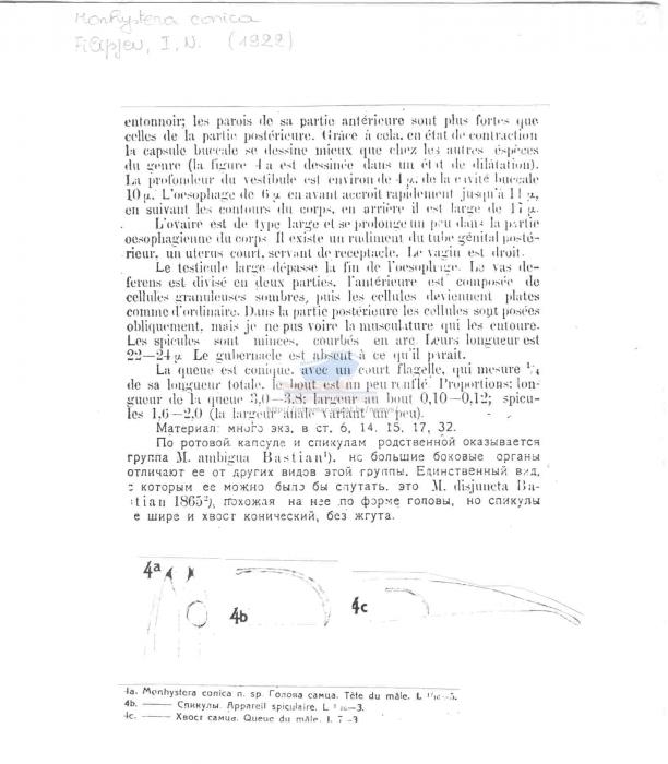 Monhystera conica