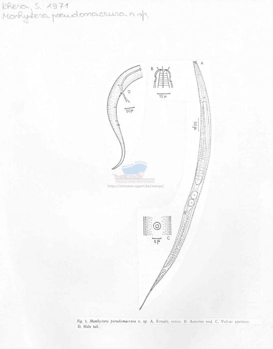 Monhystera pseudomacrura