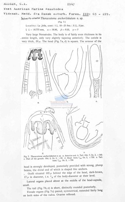Deontostoma anchorilobatum