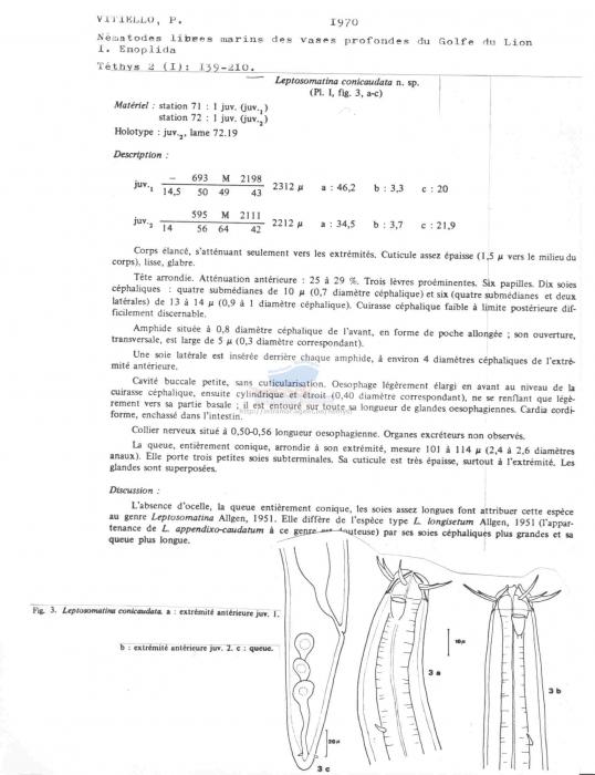 Leptosomatina conicaudata