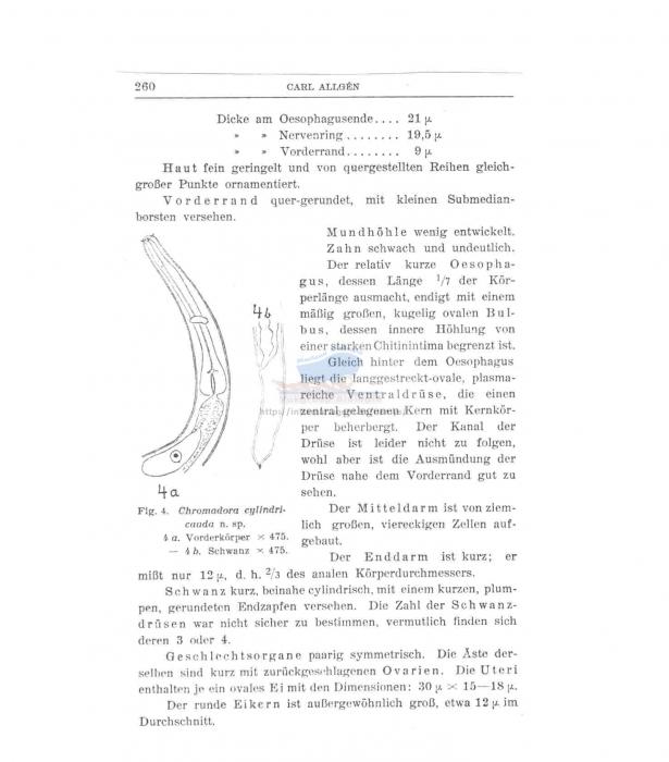 Chromadorina cylindricauda