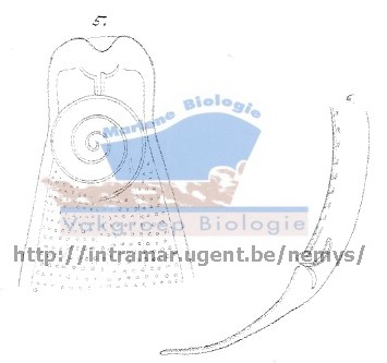 Parasabatieria ornata