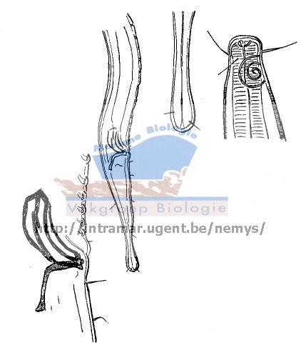 Parasabatieria longisetosa