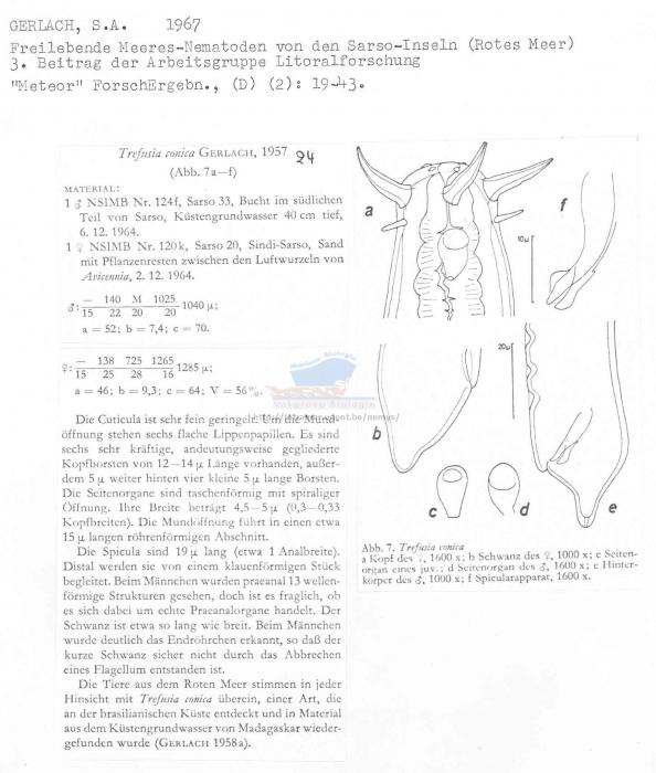 Trefusia conica