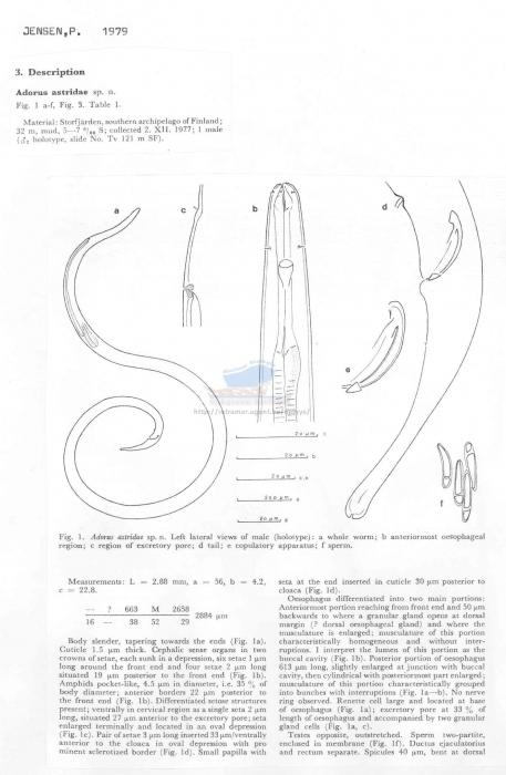 Adorus astridae