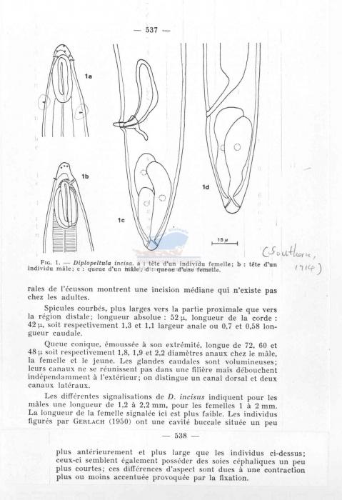 Diplopeltula incisa
