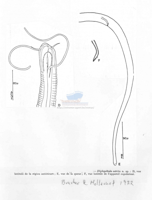 Diplopeltula ostrita