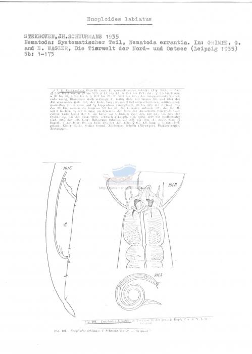 Enoploides labiatus
