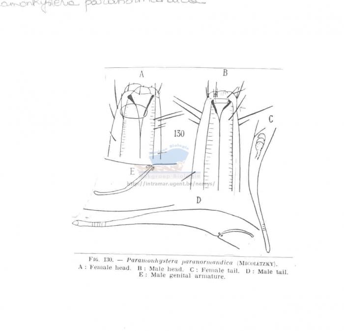 Paramonhystera paranormandica
