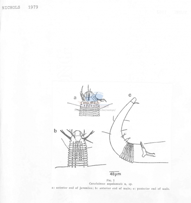 Cenolaimus sapeloensis