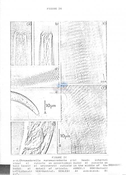 Chromadorella paramucrodonta