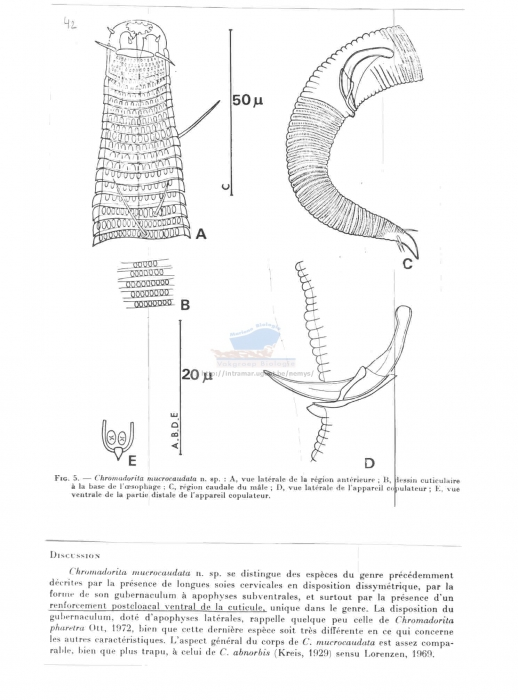 Chromadorita mucrocaudata